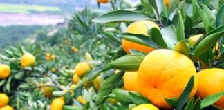 mandarine, četrdeset tona mandarina